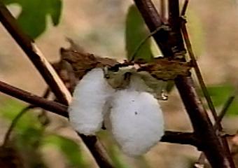 平山繊維綿花